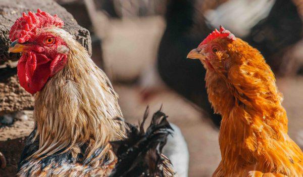 avian-chickens-cockerel-1543841